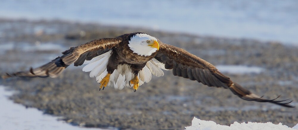 Eagle by mcax9