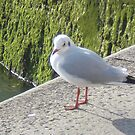 Ghostly gull by Chloé-May Smith