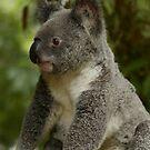 Koala by alibjones