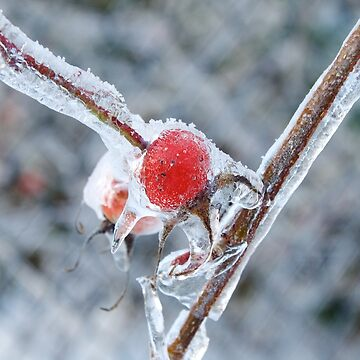 Frozen Rosehip by couragesings