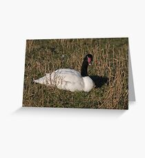 Black-Necked Swan Greeting Card