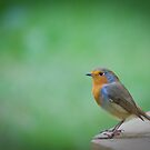 Robin by Terence J Sullivan