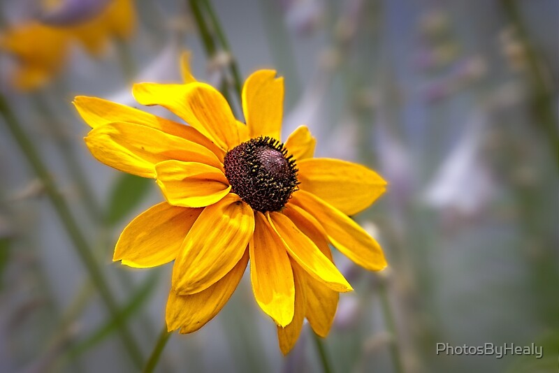Black-eyed Susan by Photos by Healy