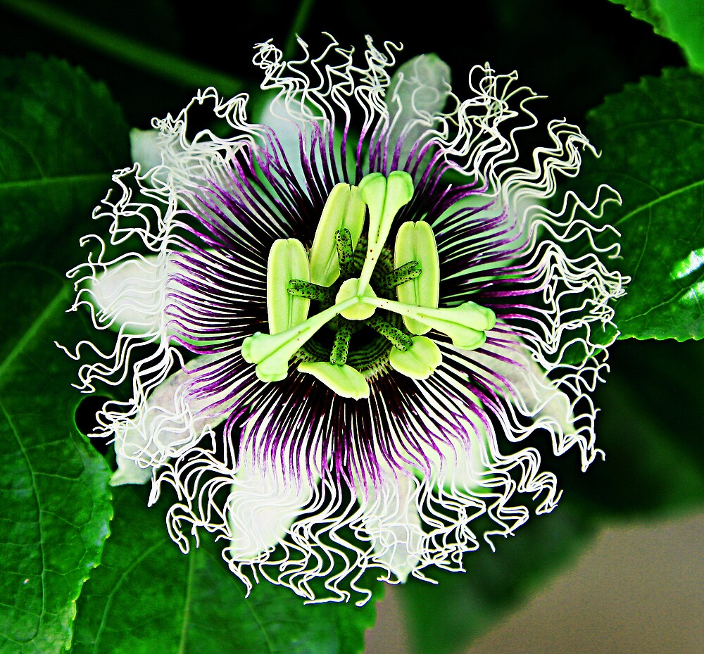 Passion Fruit Flower from La Jolla CA by 1PAW