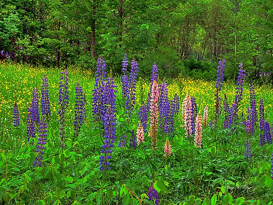 Lupine Spikes by Wayne King
