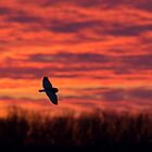 Short-Eared owl at sunset by Jim Cumming