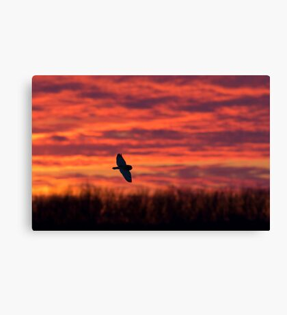 Short-eared owl hunting at sunset Canvas Print