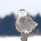 Snowy owl in winter by Jim Cumming