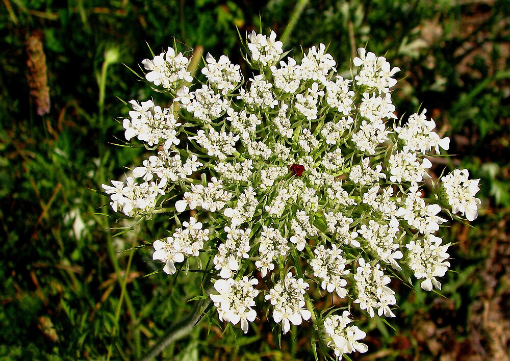 Queen Anne's Lace by Patty Gross