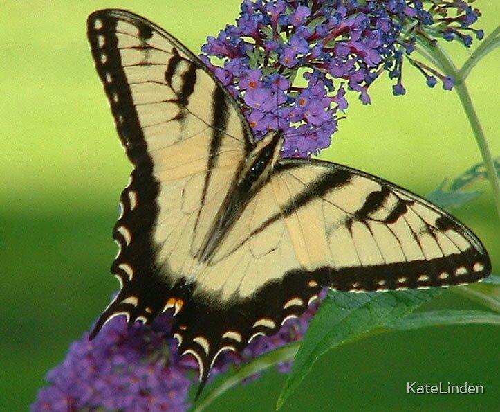 Swallowtail Butterfly on a Butterfly Bush by KateLinden