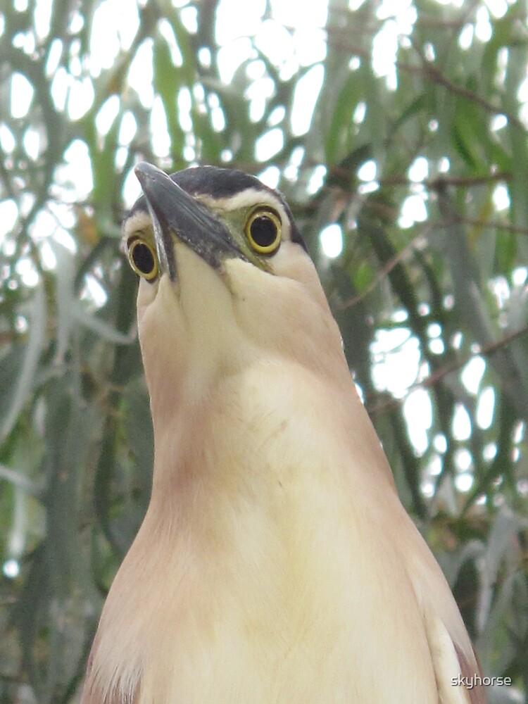 Nankeen Night Heron #3 by skyhorse