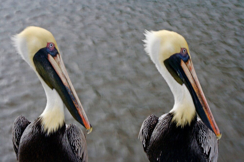 2 pelicans 2 by Sol Whiteley