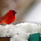 Cardinal In The Snow by Clayton Bruster