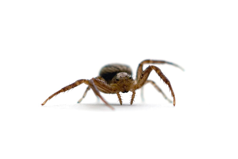 Crab Spider by Jackson Chu