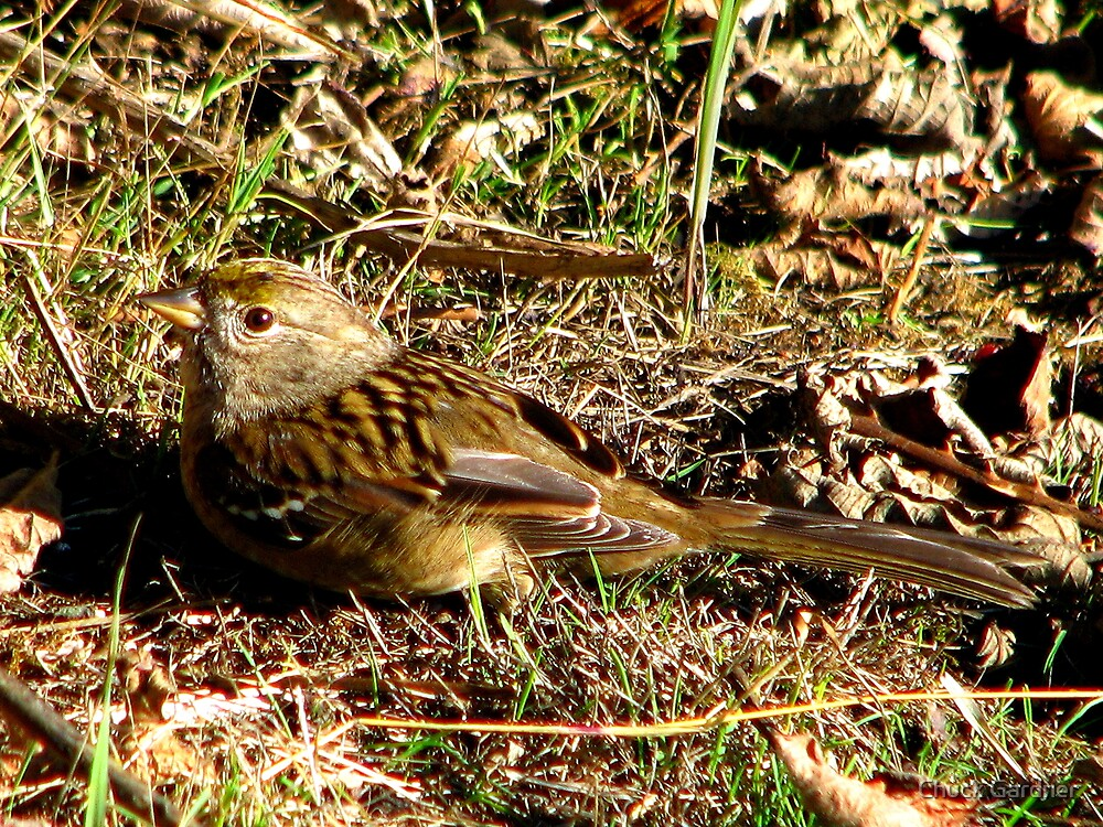 Young Golden-crowned Sparrow by Chuck Gardner