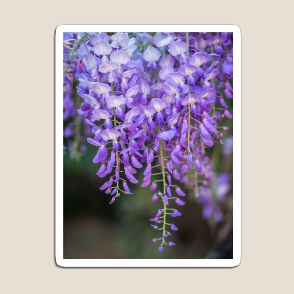 Hanging - Wisteria Magnet