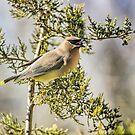 Waxwing in the Cedar by Kenneth Haley