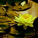 Yellow Water Lily by Barbara  Brown