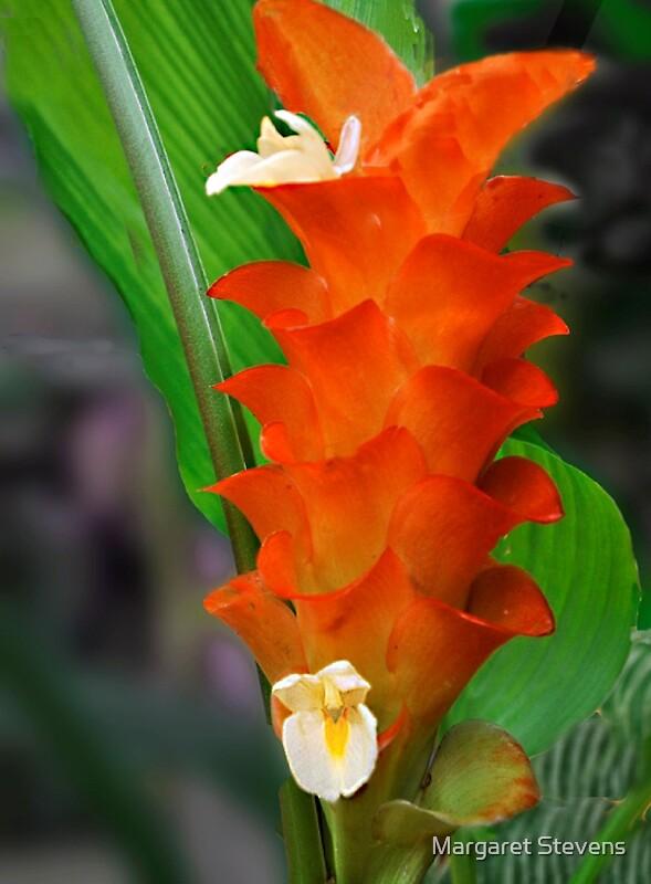 Quot Orange Ginger Flower Quot By Margaret Stevens Redbubble