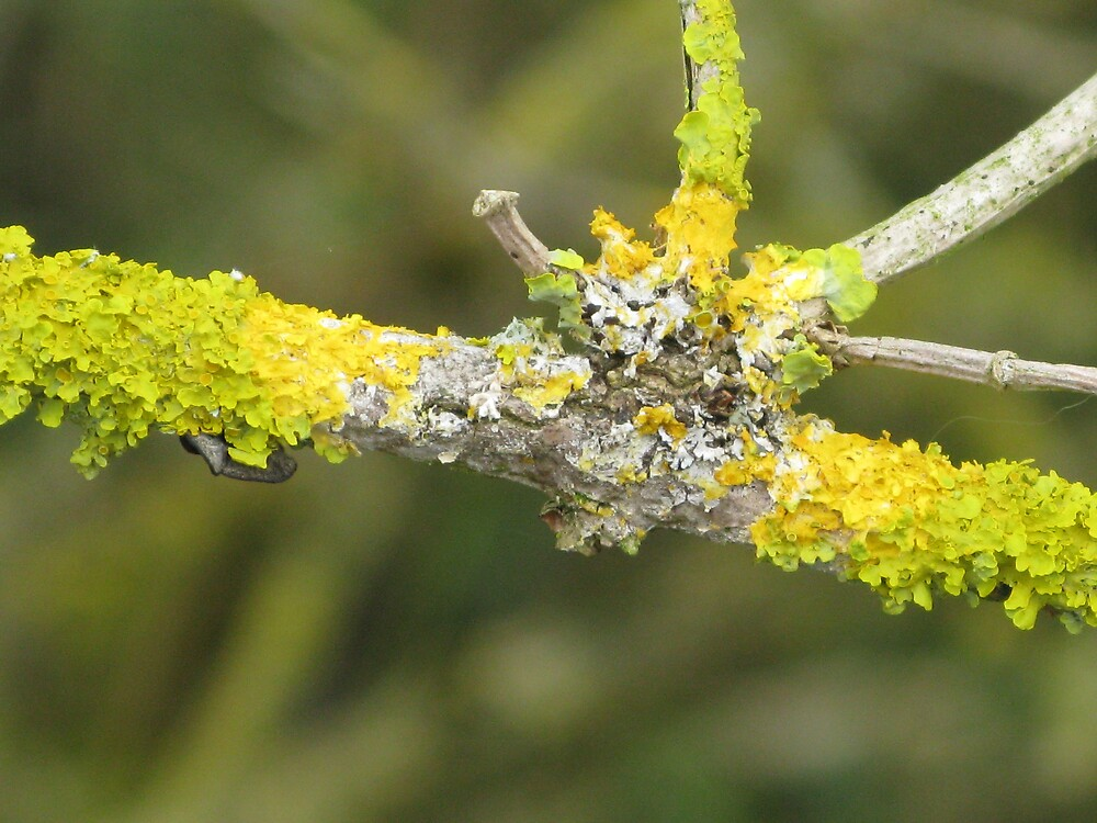 Lichen on Elder twig by richalfa156