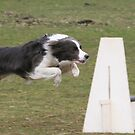 Flyball Sophie by fionajean