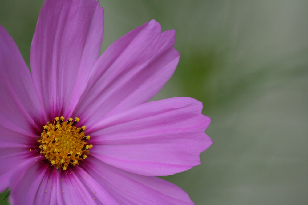 SemproniusArts- Cosmos PINK by Sempronius Enterprises