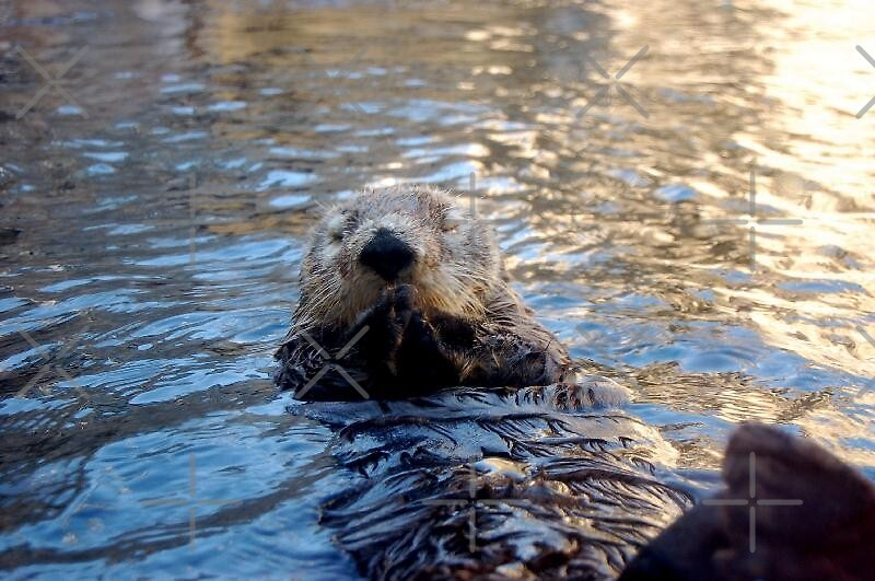 Monterey Bay Aquarium-a sea otter by loiteke