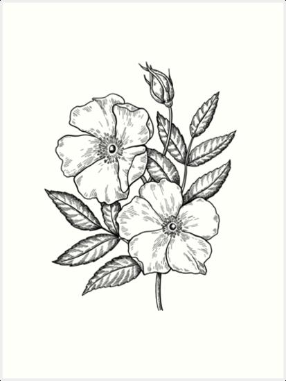 Wild Rose Botanical Drawing Art Prints By Epine Redbubble