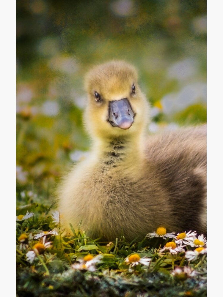 the quizzical gosling by sadler2121