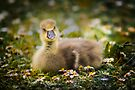 the quizzical gosling by Sara Sadler
