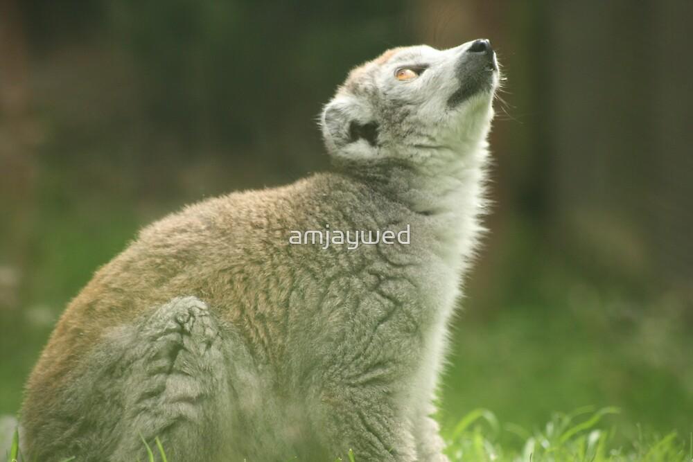 Lemur by amjaywed