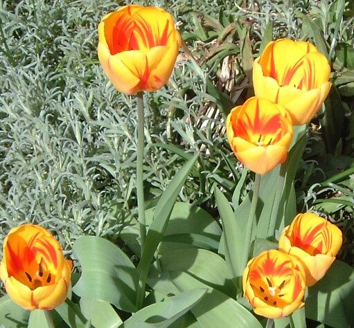 Sunkissed Tulips by WaleskaL