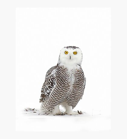 Why yes! I did drink a lot of coffee! - Snowy owl Photographic Print