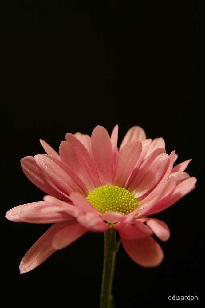 Pink Chysanthemum flower close up by edwardph