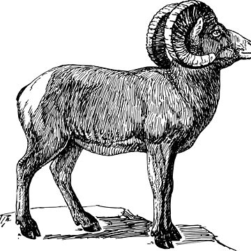 Big Horn Sheep Ram by Zehda