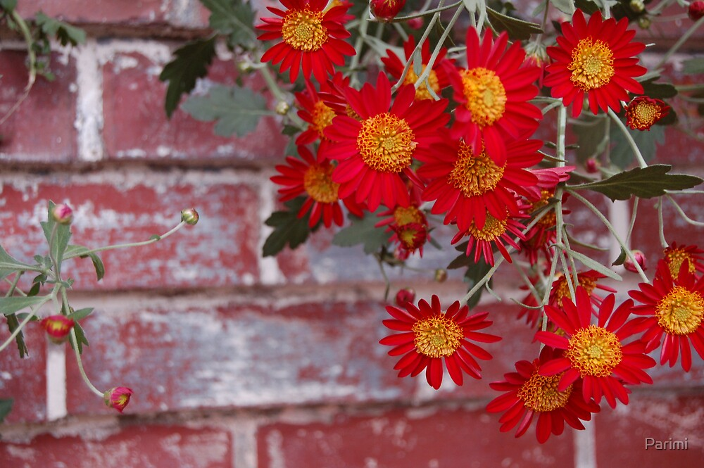 Red Chrysanthemum by Parimi