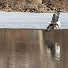 Bald Eagle 2018-3 by Thomas Young