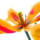 Yellow Tulip Burst by Rosemary Sobiera
