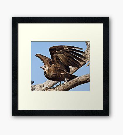 Hooded Vulture Framed Print