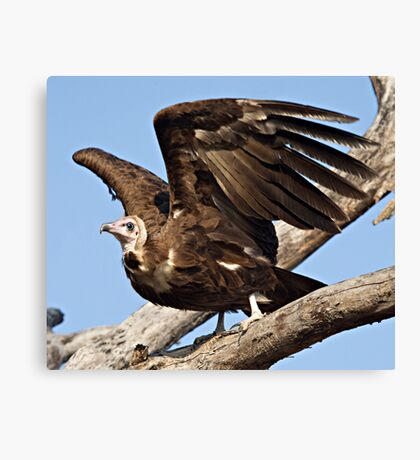 Hooded Vulture Canvas Print