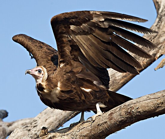 Hooded Vulture by Michael  Moss