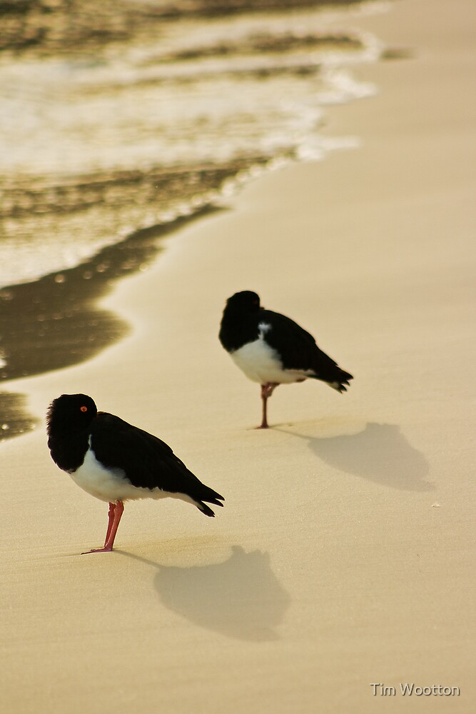 Pied Oystercatchers by Tim Wootton