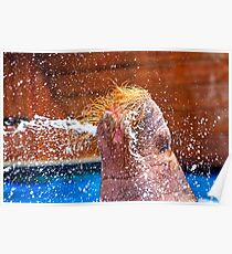 Walrus squirting water Poster