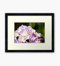 Purple Hydrangea Framed Print