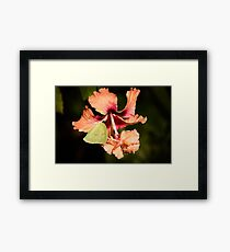Cloudless Sulphur Butterfly On Orange Hibiscus Framed Print