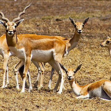 Array of Antelope by PipPipHooray