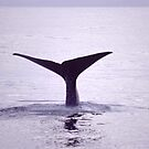 Whale Tail after whale dives in Kaikoura New Zealand by Aneurysm