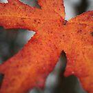 Maple Leaf by MurrayB