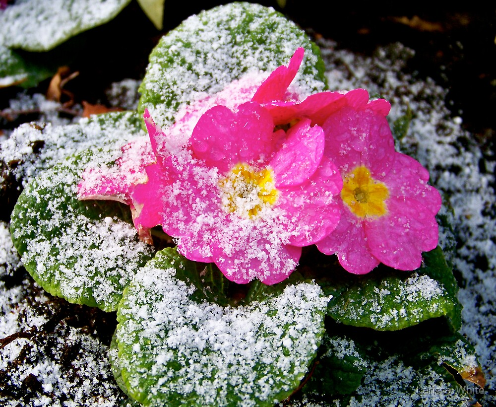 Flowers in the snow by Larissa  Plain