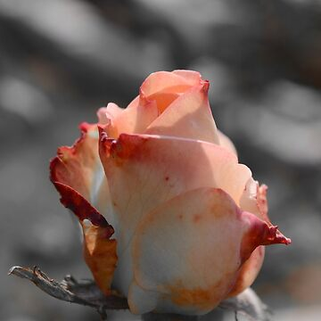 The Peach Beauty by mubesher